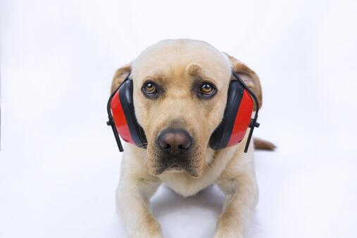Dog with noise reducing ear muffs